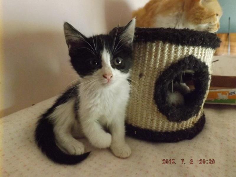 PIMPRENELLE, Chaton femelle noir et blanc de 3 mois 11692610