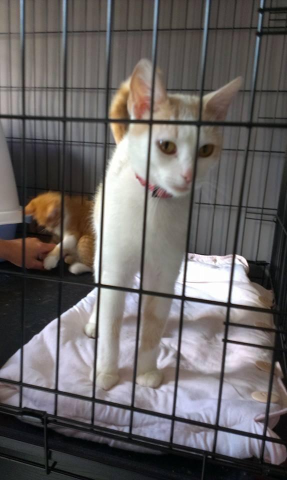 DOUCE, chatte blanche et rousse 11800310