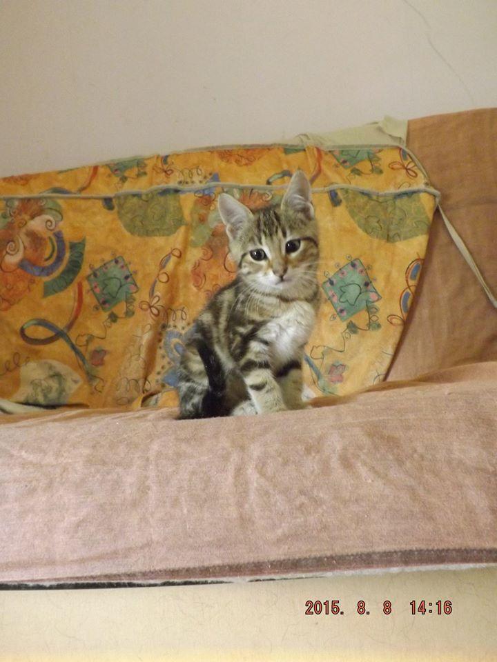 KATE, Chaton femelle tigrée 2 mois 1/2 11813310