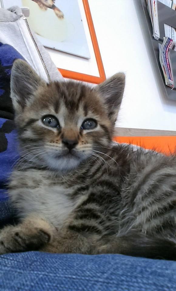 HENRY, Chaton mâle tigré de 2 mois Henry10