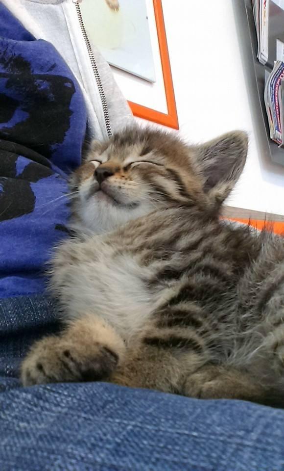 HENRY, Chaton mâle tigré de 2 mois Henry210