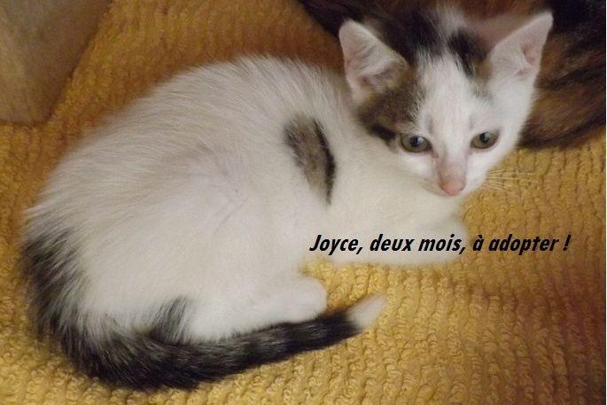 JOYCE, Chaton femelle blanc et tigrée de 2 mois 1/2 Joyce210