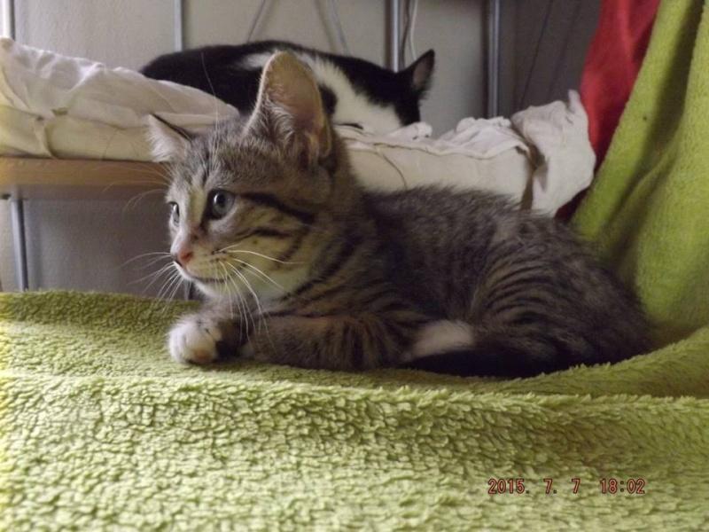 LARRY, Chaton mâle tigré de 3 mois Larry10