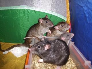 Rats Brulur15