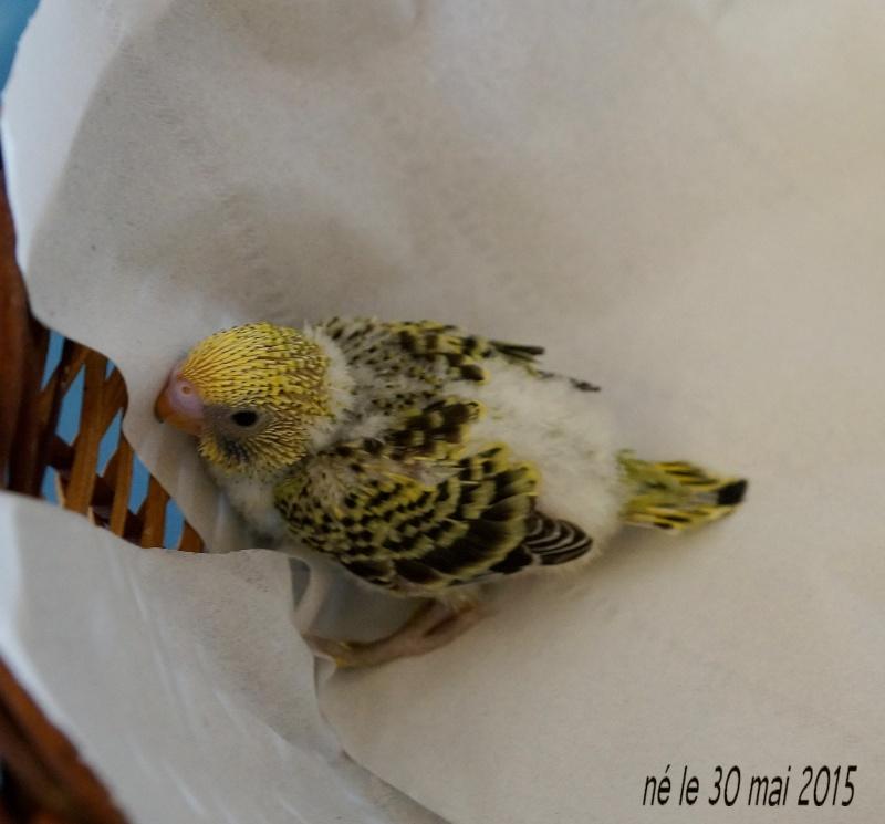 Le plumage des bébés apparait 1er_3010