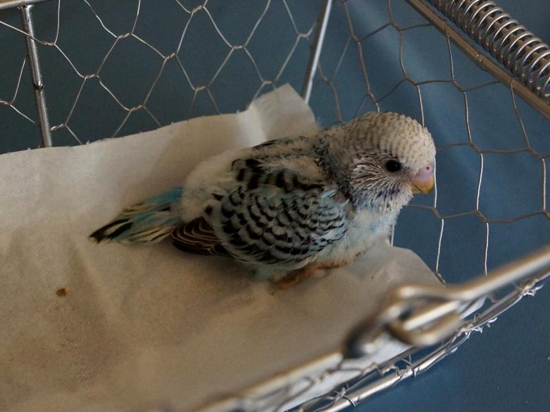 Le plumage des bébés apparait 3yme_p10
