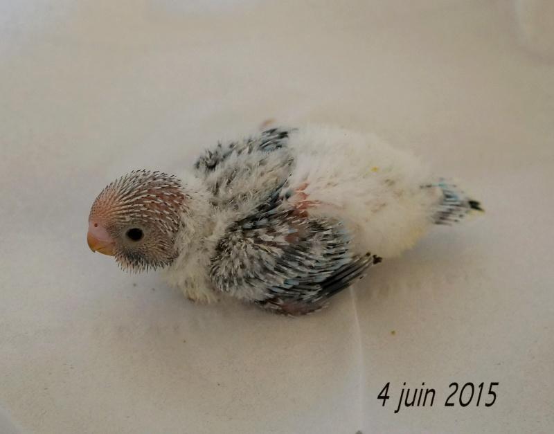 Le plumage des bébés apparait 4eme_410