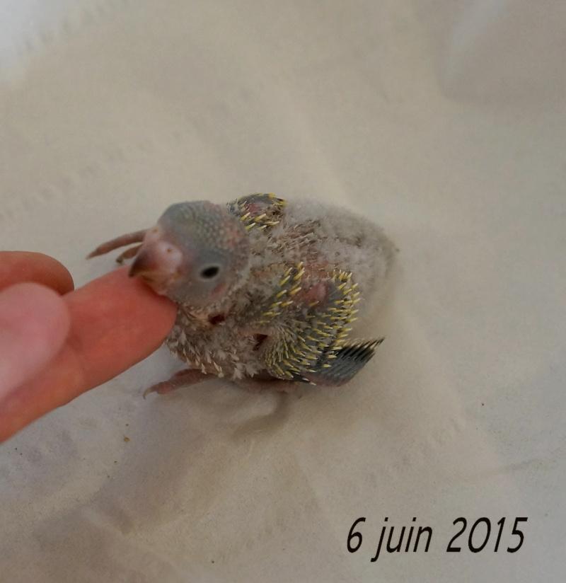 Le plumage des bébés apparait 5eme_610