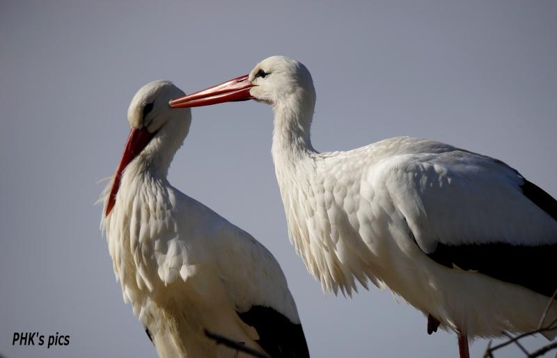 Les oiseaux qui peuplent la Camargue Cigogn10