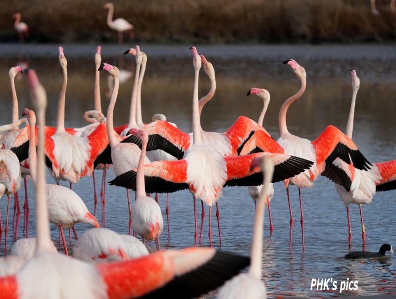Les oiseaux qui peuplent la Camargue Parade10