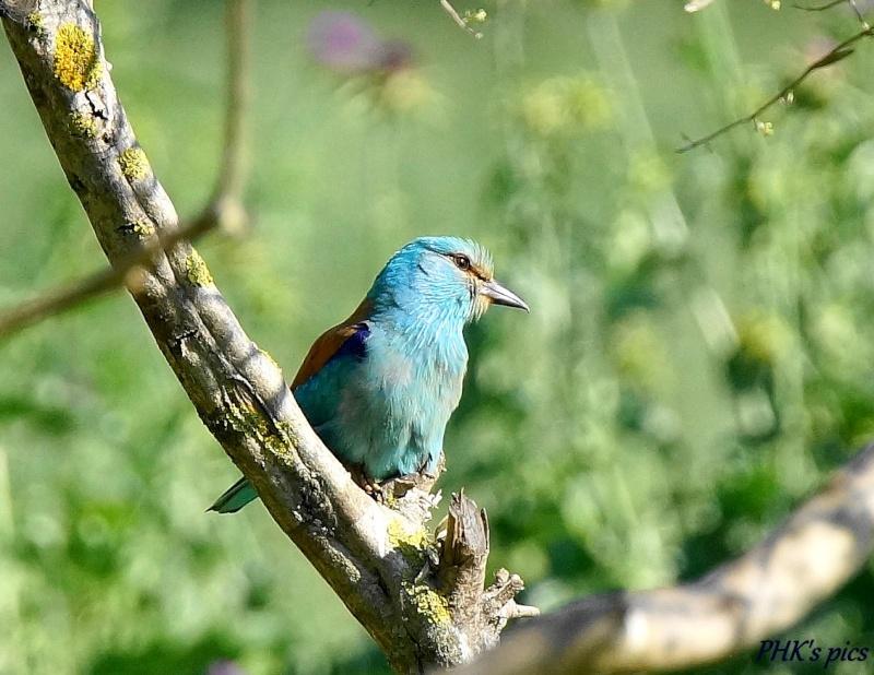 Les oiseaux qui peuplent la Camargue Rollie10