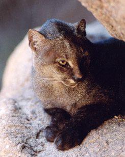 jaguar regime alimentaire