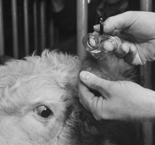 Etiquettes aux oreilles des animaux Etquet10