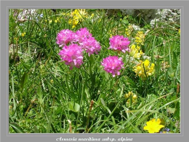 [Italie] Randos botaniques dans les Dolomites Armeri10