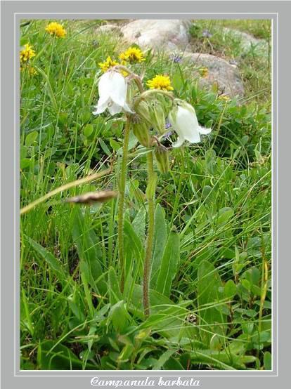 [Italie] Randos botaniques dans Dolomites (suite 2) Campan10