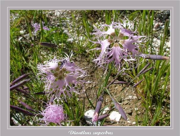 [Italie] Randos botaniques dans les Dolomites Dianth10