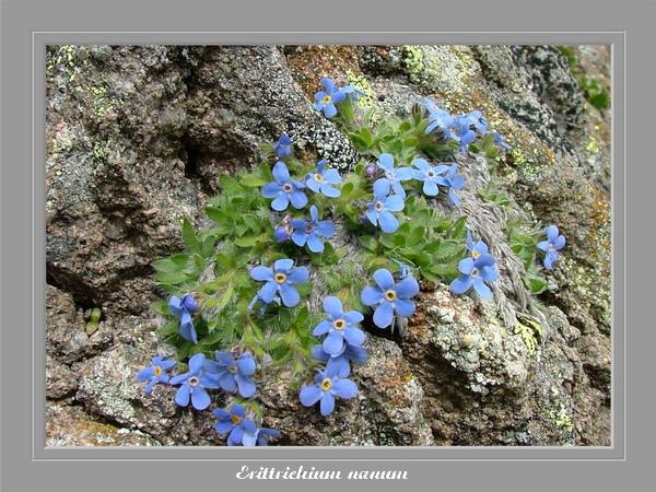 [Italie] Randos botaniques dans Dolomites (suite 2) Eritri10