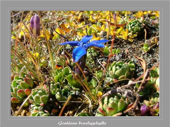 [Italie] Randos botaniques dans Dolomites (suite 2) Gentia10