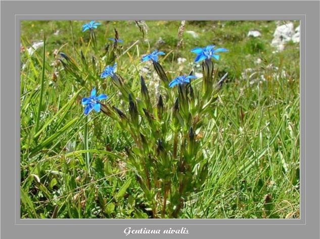 [Italie] Randos botaniques dans les Dolomites Gentia11