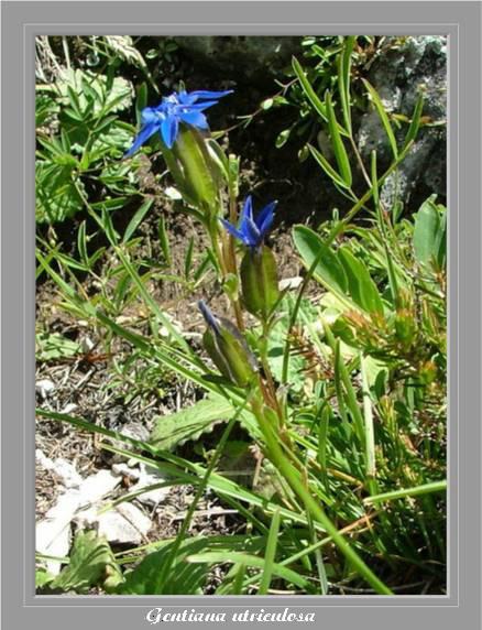 [Italie] Randos botaniques dans les Dolomites Gentia12