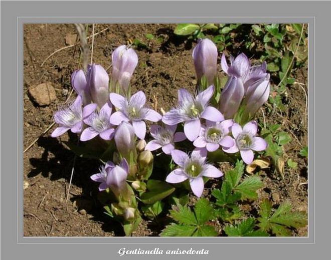 [Italie] Randos botaniques dans les Dolomites Gentia14