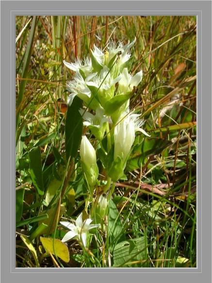 [Italie] Randos botaniques dans les Dolomites(suite et fin) Gentia15