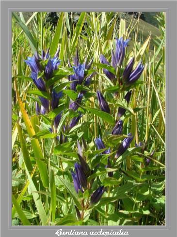 [Italie] Randos botaniques dans les Dolomites Gentia17