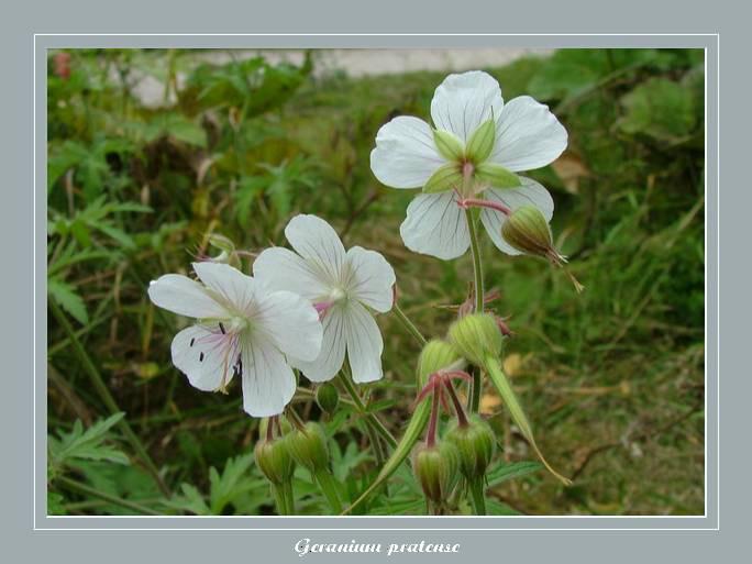 [Italie] Randos botaniques dans les Dolomites Gerani10