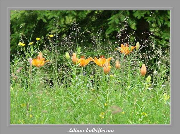 [Italie] Randos botaniques dans les Dolomites Lilium11