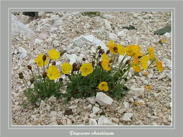 [Italie] Randos botaniques dans les Dolomites Papave10