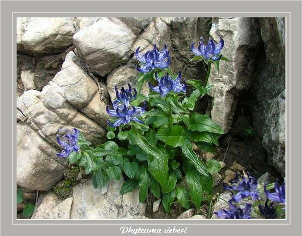 [Italie] Randos botaniques dans les Dolomites Phyteu11