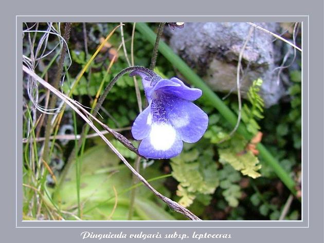 [Italie] Randos botaniques dans Dolomites (suite 2) Pingui10