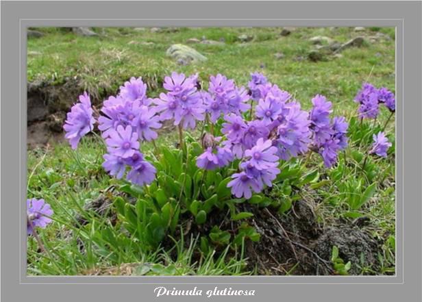 [Italie] Randos botaniques dans Dolomites (suite 2) Primul11