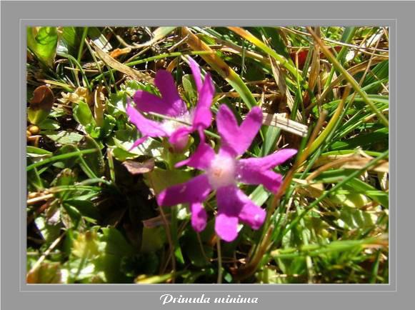[Italie] Randos botaniques dans Dolomites (suite 2) Primul12