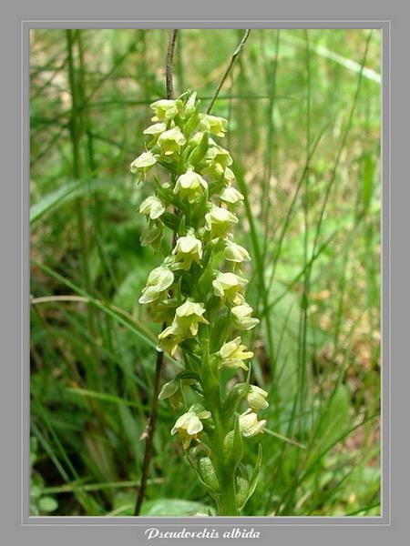 [Italie] Randos botaniques dans Dolomites (suite 2) Pseudo10