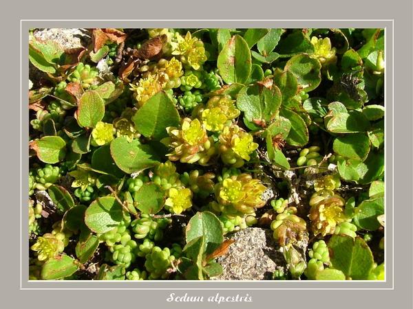 [Italie] Randos botaniques dans Dolomites (suite 2) Sedum_10