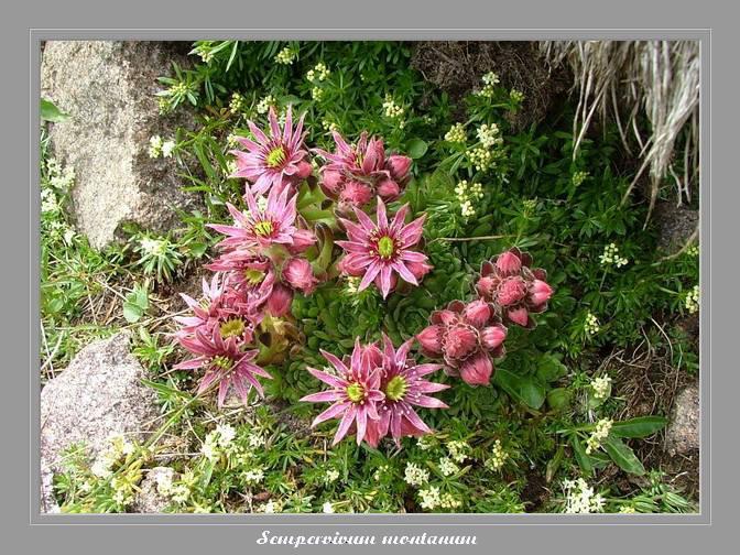 [Italie] Randos botaniques dans Dolomites (suite 2) Semper10