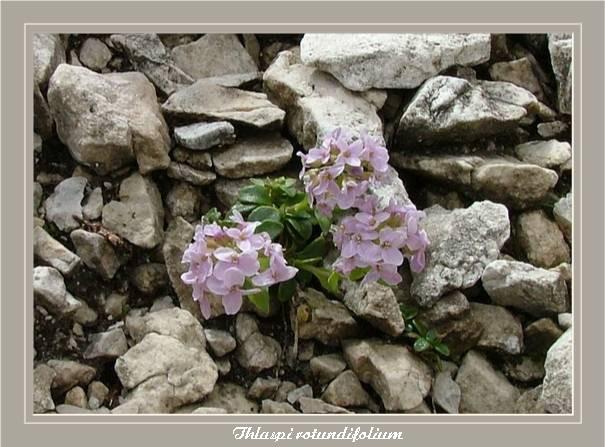[Italie] Randos botaniques dans les Dolomites Thlasp10