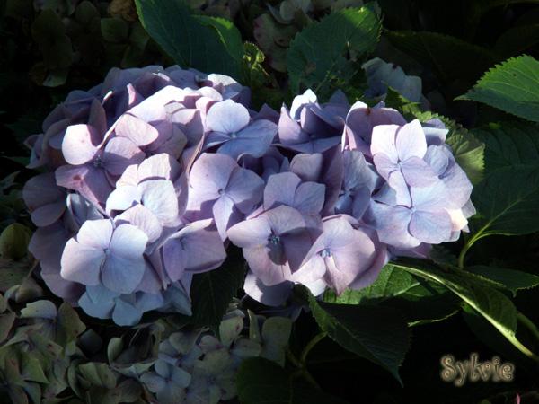 Fleurs ... tout simplement Horten10