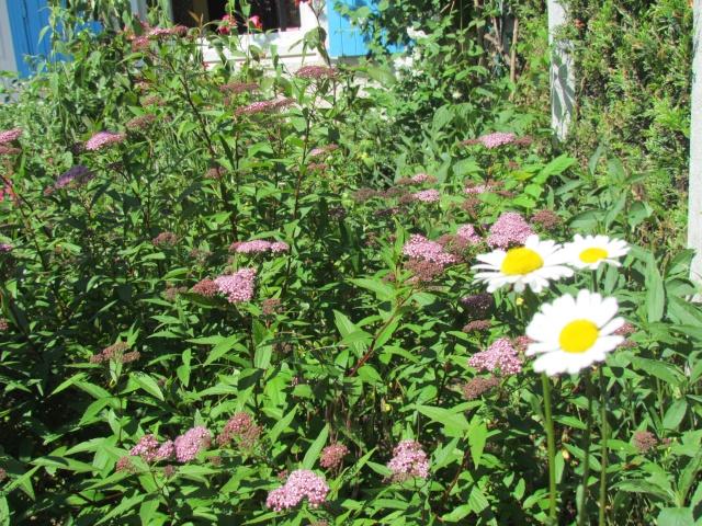Mon jardin et ses fleurs 2015 910