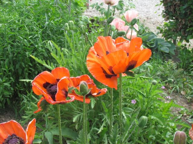 Mon jardin et ses fleurs 2015 Fleur_11