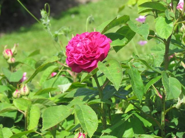 Mon jardin et ses fleurs 2015 Fleur_13