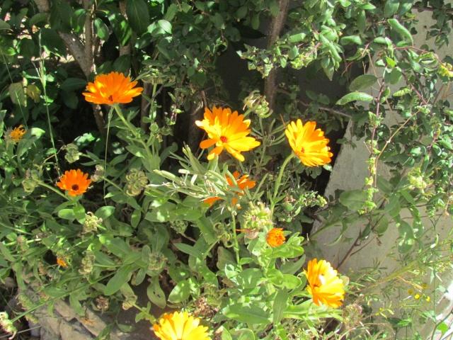 Mon jardin et ses fleurs 2015 Img_0022