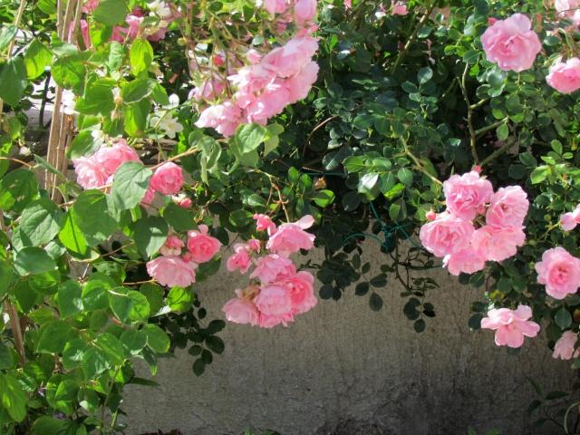 Mon jardin et ses fleurs 2015 Mon_ja17