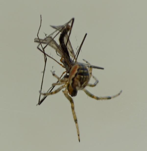 Penmarc'h 3 - Pour vous réconcilier avec les (petites) araignées... 16_06_16