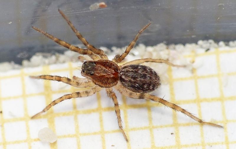 Dernière Lycosidae de Penmarc'h 26_06_20