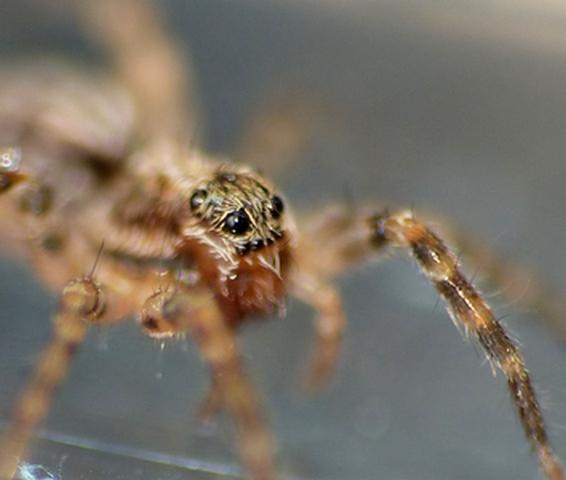 Dernière Lycosidae de Penmarc'h 26_06_23