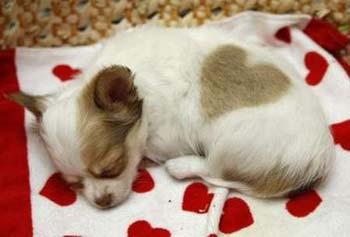 Chó con Puppy ^^! Chihua12