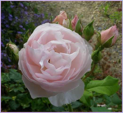 Rosa 'Héritage' !!! - Page 5 02062014