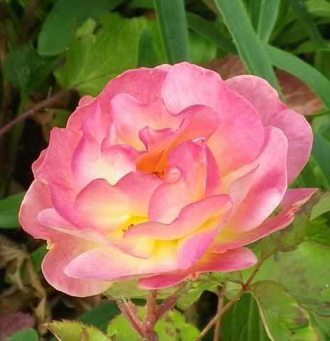 rosa éclat de rire - Page 4 02062019